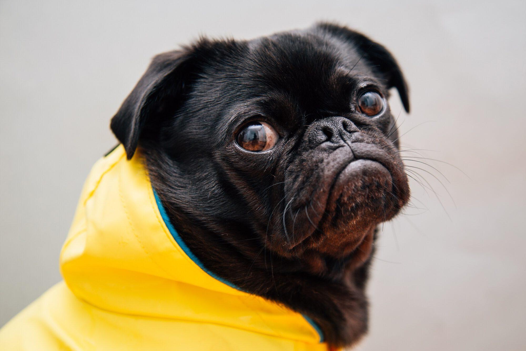 Ein schwarzer Hund schaut traurig in die Kamera. Der Hund trägt einen gelben Regenmantel.